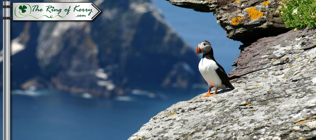 Puffin on Skellig Islands - Ring of Kerry